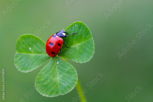 ladybug on three leaf clover Tableau sur Toile