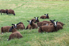 Flock Of Zwartbles Sheep At Co...