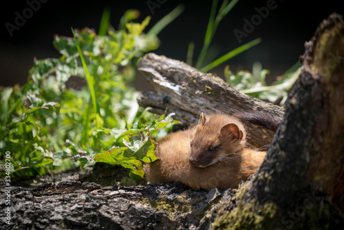 Least Weasel (Mustela nivalis) Tablou Canvas