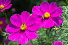 Pink Flower And Green Leaf In Garden At Sunny Summer Or Spring Day. Cosmos Or Mexican Aster Flower.