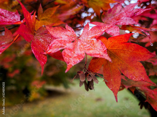 Acer Tree Leaves Changing Colour in Autumn Wallpaper Mural