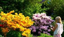 Azaleen Und Rhododendron Im Ga...