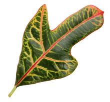 Kodieum Croton, Red-green Leaf...