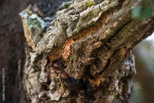 Fototapeta Passeggiata nella foresta tra alberi di querce e sughere maestose