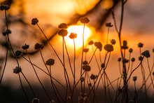 Silhouette Of Seedheads With A...