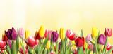Fototapeta Tulipany - Many beautiful tulips on light background. Banner design