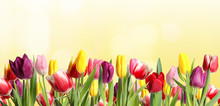 Many Beautiful Tulips On Light Background. Banner Design