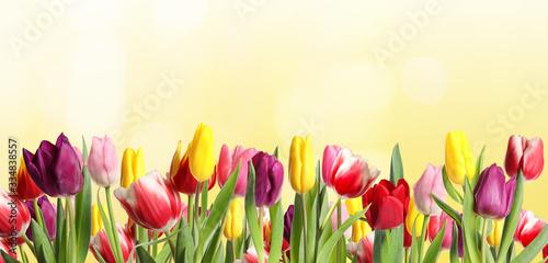 Fototapeta Many beautiful tulips on light background. Banner design obraz