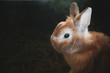 small brown bunny, home rabbit pet closup on dark background