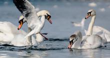 A Daring White Seagull Snatche...