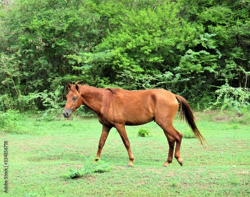 horse walking in a field