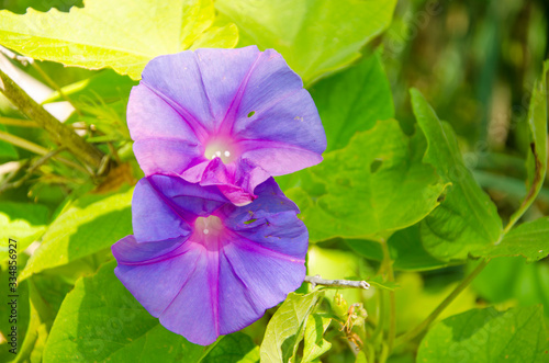 Fototapeta Flowers and foliage Tinkerbell (Ipomoea indica)