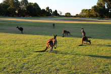 Kangaroos On A Golf Course.