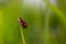 Coccinella Is The Most Familiar Genus Of Ladybird (or, In North America, Ladybug). The Elytra Of Most Species Are Of A Red Or Orange Colour, Punctuated With Black Spots Or Bands. The Genus Occurs Thro