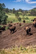 Buffalo In Custer State Park Wildlife Loop Road, South Dakota