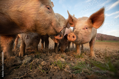Fototapeta Pigs eating on a meadow in an organic meat farm - wide angle lens shot obraz