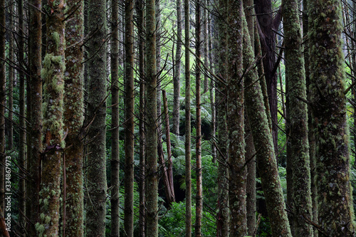 Redwoods and Native New Zealand Bush