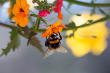 Close Up Of A Bumble Bee On Or...