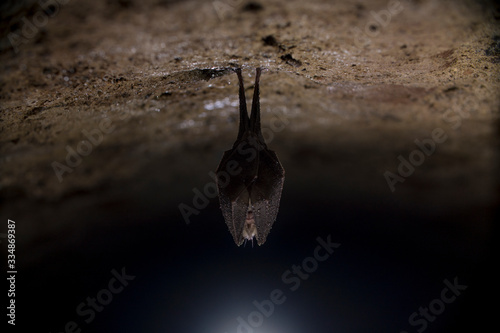 Photo Closeup horseshoe bat covered by wings, hanging upside down while hibernating