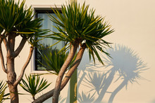 Small Palm Tree Casts A Shadow On The Wall Of The House And The Window