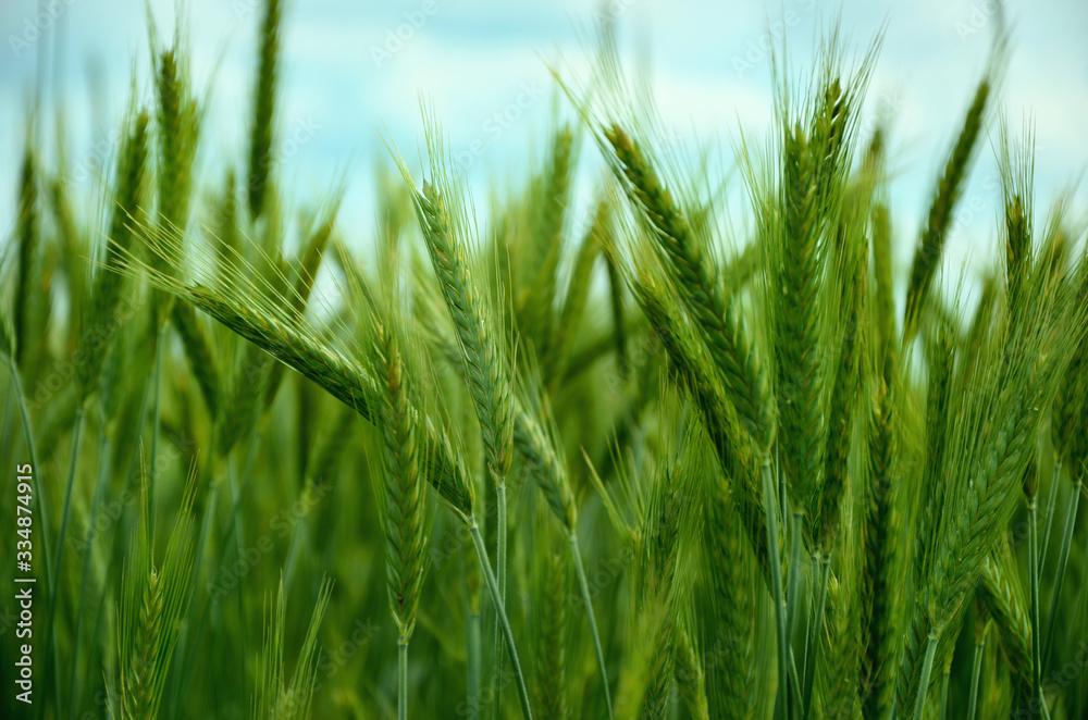 Fototapeta  green ears of rye close-up on a background of blue sky