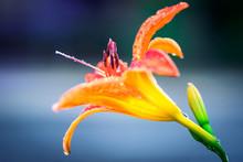 Closeup Of Bright Orange Lily ...