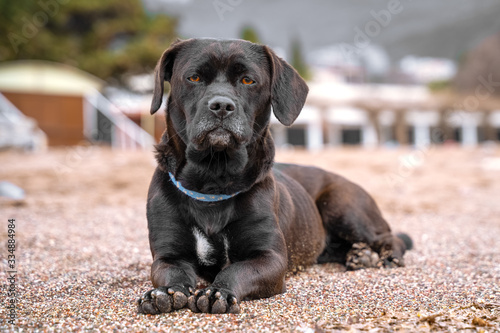 Obedient big black half breed mongrel dog in blue collar with noble look lazily lies on sand on city beach, blurred background with garage and sunshade tent Fototapete