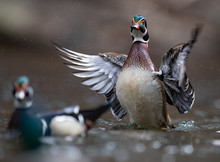 Wood Duck In Pennsylvania