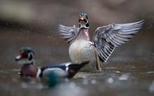 Wood Duck In Pennsylvania