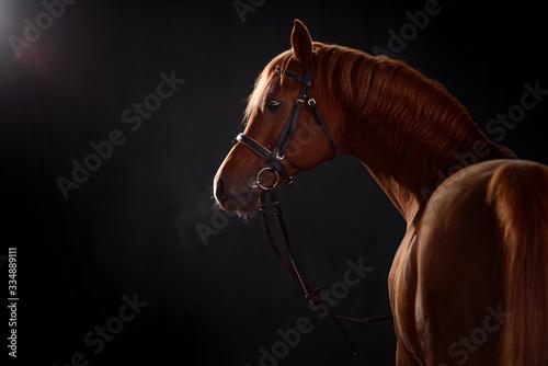 Fototapeta arabian horse portrait with classic bridle isolated on black background obraz