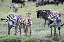 Mother And Baby Zebras During ...