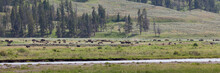 Bison In A Valley By Soda Butte Creek