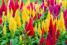 Close Up Of Colorful Celosia Flower Blooming In Ornamental Garden