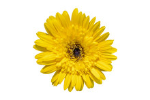 Yellow Daisy Gerbera Flowers Blooming Isolated On White Background With Clipping Path