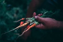 Carrots Harvested From An Orga...