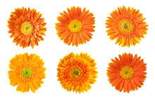 Collection Of Orange Daisy Ger...
