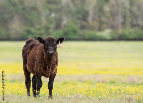 Lone Angus calf in buttercup-filled pasture Canvas Print