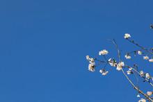 파란 하늘과 벚꽂이 보...