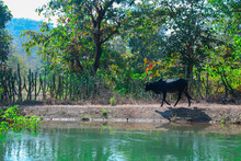 Black Coloured Cow Crossing The Old River. Cow Searching For Water In India. Beautiful Jungle Aria Covered With Fresh Water.   Mahashtrash Rural Area Cow Walk