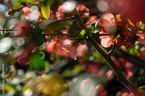 Spring tree flowering. Red and Pink flowers on blooming tree. Slovakia #334940991