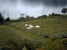 Flock Of Cows In A Field Besid...