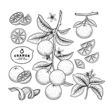 Vector Sketch Citrus Fruit Decorative Set. Orange. Hand Drawn Botanical Illustrations. Black And White With Line Art Isolated On White Backgrounds. Fruits Drawings. Retro Style Elements.
