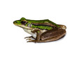 green frog isolated on white background