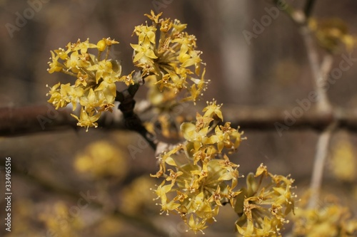 The blooming tree with yellow flowers - Cornus mas (Cornelian cherry, European c Canvas-taulu