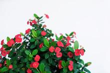 Red Bloom Flower Or Crown Of T...