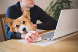 Fototapeta Zwierzęta - A man working at home during home office with a red and happy welsh corgi pembroke dog