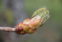 Horse Chestnut Spring Leaves B...