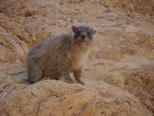 Single Rock Hyrax (Procavia Capensis) Sitting On A Rock At Ein Gedi National Park, Dead Sea, Israel