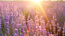 Beautiful Image Of Lavender Fi...