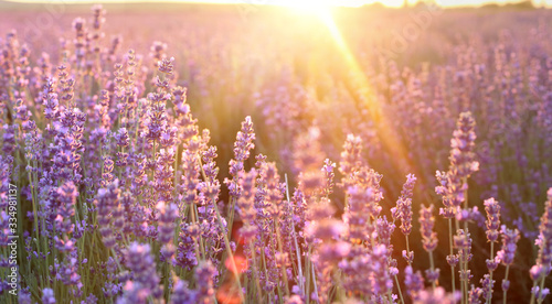 Fototapeta Beautiful image of lavender field over summer sunset landscape. Sunset rays over a lavender flowers. obraz